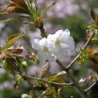 多摩自然科学園の桜4