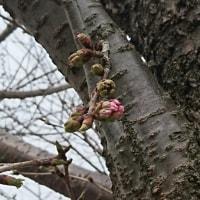 桜~開花は…