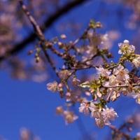 春はいかがでしょうか♪・・ヒマラヤザクラ満開!!