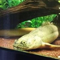 【魚】 ポリプテルス・アンソルギー(ブリード:40cm)