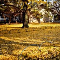 銀杏の落ち葉:秋の名残  黄色い絨毯は最高です