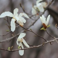 さいたま市桜区にある桜草公園では、カントウタンポポの花も咲き始めました