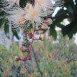 朝5時過ぎの散歩で満開のサガリバナに感嘆する。いい香り、ミツバチなどのオアシス!