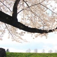 おおきな桜の木のしたで。