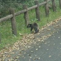 4月下旬の須津川渓谷:車の前をゆっくりと歩くハクビシン!