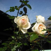 また 咲いてます バラ「イクセクローンスペリオン」