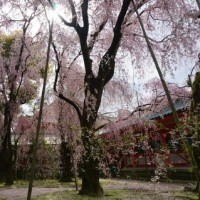 やっぱり感激「平安神宮」の紅枝垂れ桜。今年の桜も、いよいよ見納め