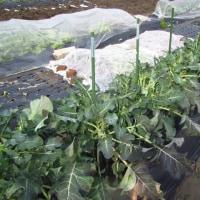 三重なばな・茎ブロッコリーに追肥