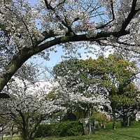 4月22日(土曜日)「杖の淵公園の桜」(aiaiさん)