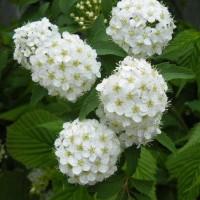 もみじの花と小手毬の花