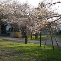 天上寺の桜