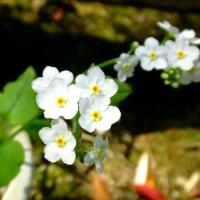 春の山野草 ヤマシャクヤク、バイカイカリソウ、ニホンサクラソウ、シロシラネアオイ