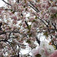 2017-04-18 今日の記録 八重桜が咲いていました