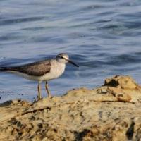 5/25探鳥記録写真(狩尾岬の鳥たち:ガビチョウ、ホオジロ、キアシシギ)