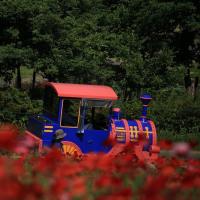 昭和記念公園 花の丘はシャーレーポーピーで赤く染まりました!