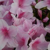 廻るもの 季節の花 ツツジ