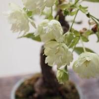 桜もそろそろ・・