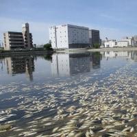 コノシロが堀川で大量死
