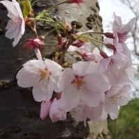2016 桜ちゃん