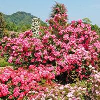 河津バガテル公園 バラ