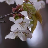 庭の山桜が咲き出した