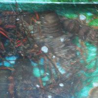 『エビ踊る』 刺し網漁