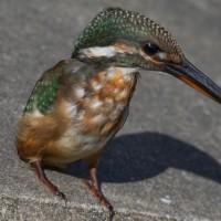 カワセミ幼鳥 雌 近距離