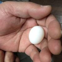 シロハラインコ3個目産卵