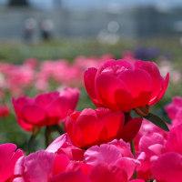 花園芍薬園の花をデジカメで