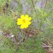 黄色のコスモス