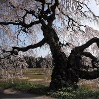 ★伊那谷の桜(5)【伊那市西春近宮の原のシダレザクラ】2017