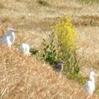 今日も快晴、シラサギ4羽です、