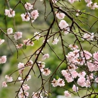 1本の八重桜