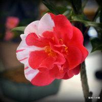 第34回全沖縄椿展見学ー① 紅白の綺麗な椿