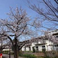 北沢川緑道 ソメイヨシノ開花宣言から4日  2017