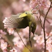 メジロと桜・・・