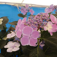 八景島紫陽花祭り