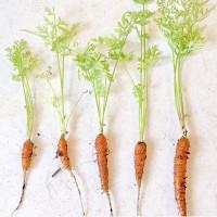 家庭菜園ミニキャロット収穫♡