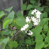 マルハナバチと花