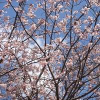 今日の「ミー散歩」 平紺屋町界隈 桜満開
