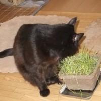 復活のネコ草