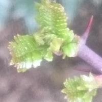 小さな 山椒の芽