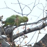 野鳥の少ない期間、ワカケホンセイインコが遊んでくれた。