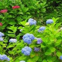花しょうぶ祭り 明日が最終日