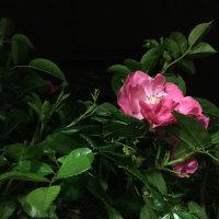俳句  晩秋のバラ