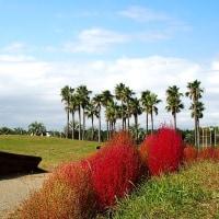 赤のコラボ、コキアと赤とんぼ