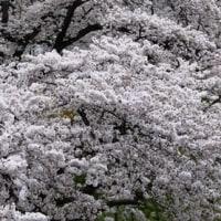 桜の見方に気づかされる