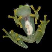 ��Transparent pretty frog like Kermit,Costa Rica.ȾƩ���Τ��襤�����參���롢�������ꥫ��ȯ��