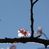 花木点景:早春桜