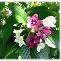 初夏の初めを飾る花(^^♪始めは白く,だんだんと紅色に変化し源平空木とも呼ばれる「ハコネウツギ(箱根空木)」